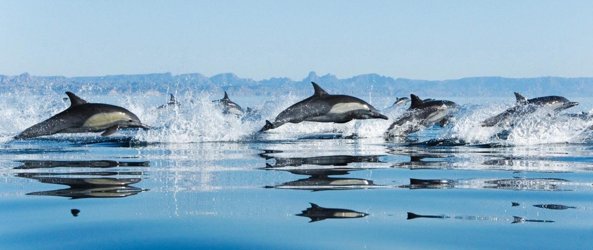 Стая черноморских дельфинов