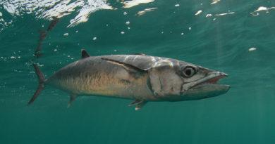Ловля ставриды в Черном море
