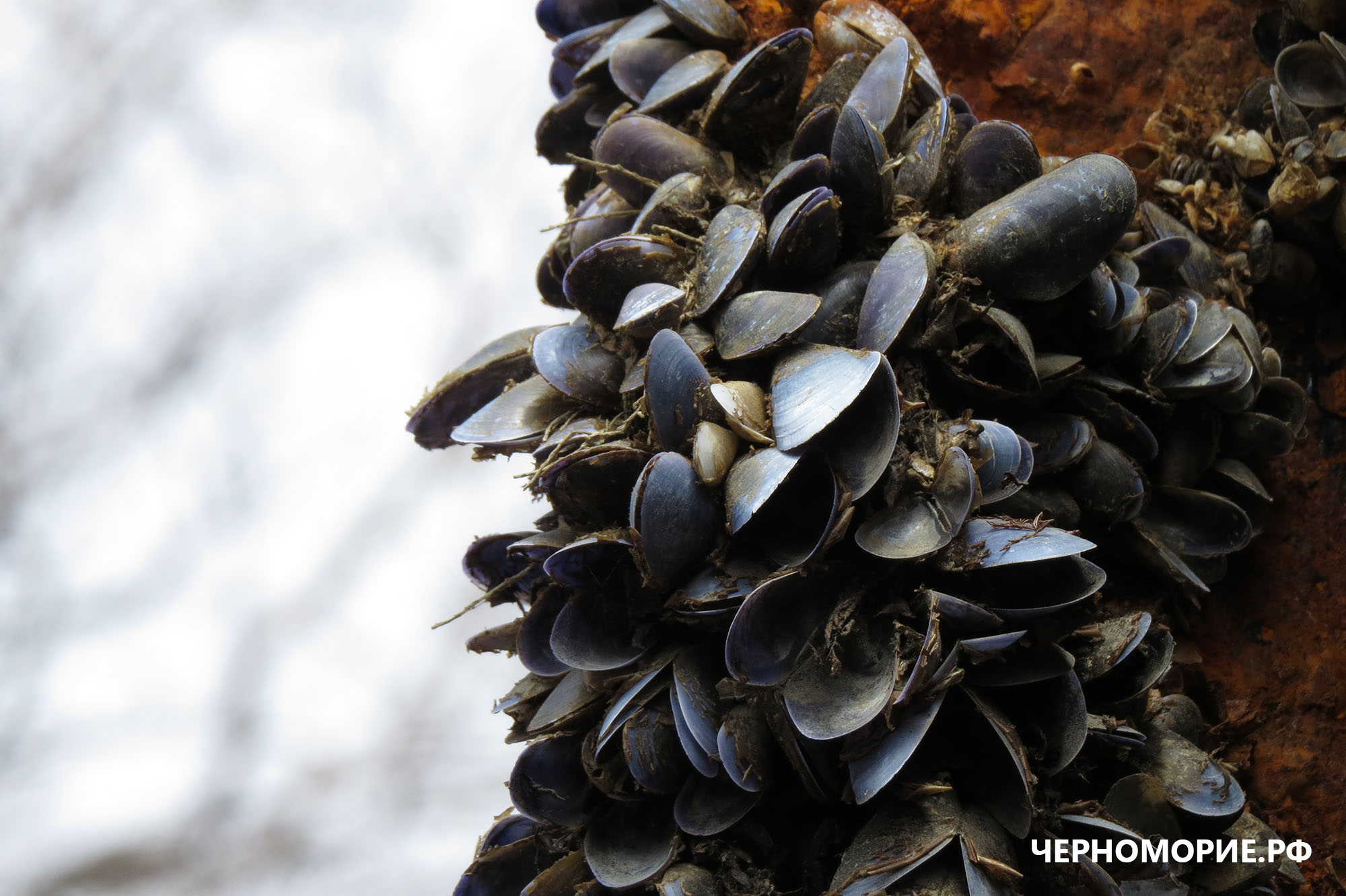Друз мидии Чёрного моря