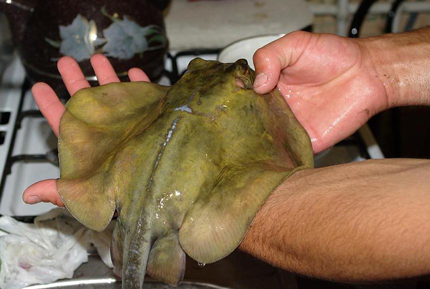 Выловленный черноморский скат-хвостокол